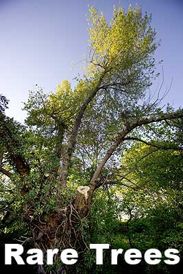 Image of Black Poplar Heritage Tree in Roydon link to page